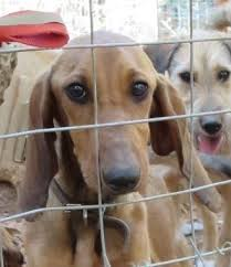 Mirtos honden